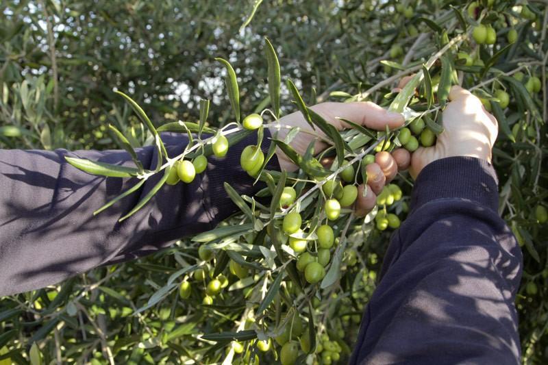 Raccolta delle Olive: Olio et Amo Experience